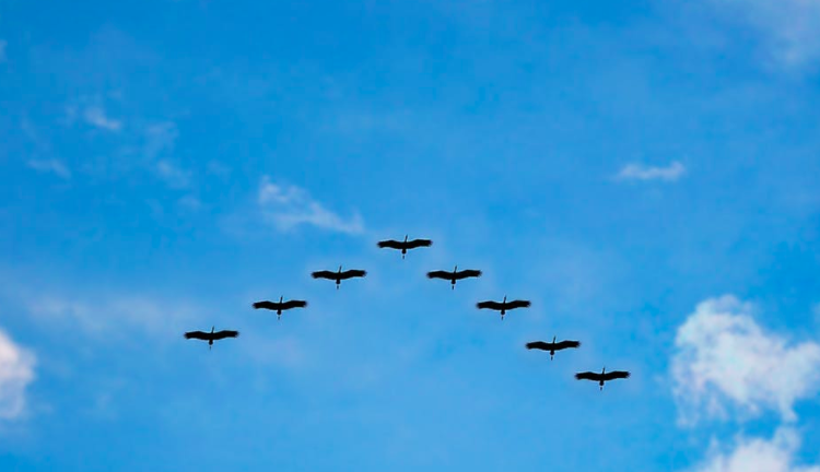 Geese V formation