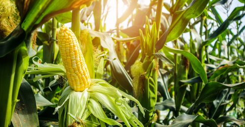 Corn cob with green leaves growth in agriculture field outdoor