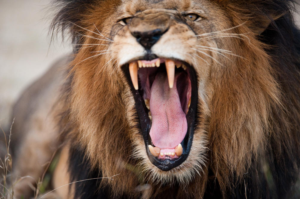 pic of lion roaring